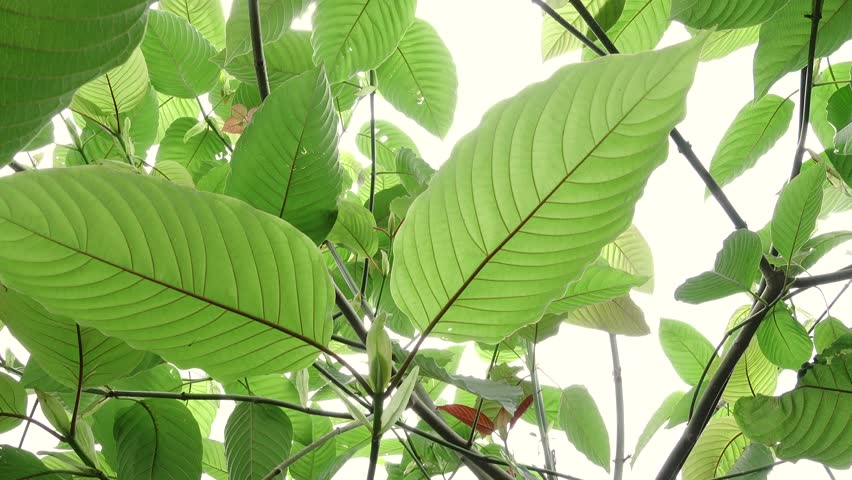 Is kratom addictive?